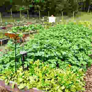 Alma the scarecrow watching the potatoes grow