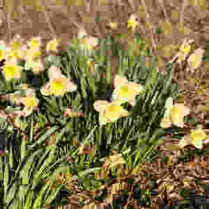 Daffodils in evening sunshine