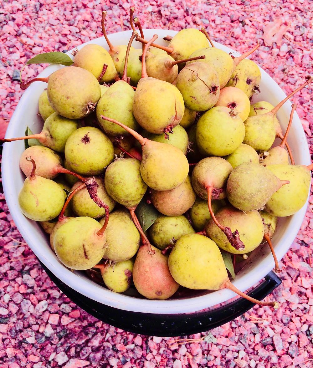 Last year we had a bumper crop of pears