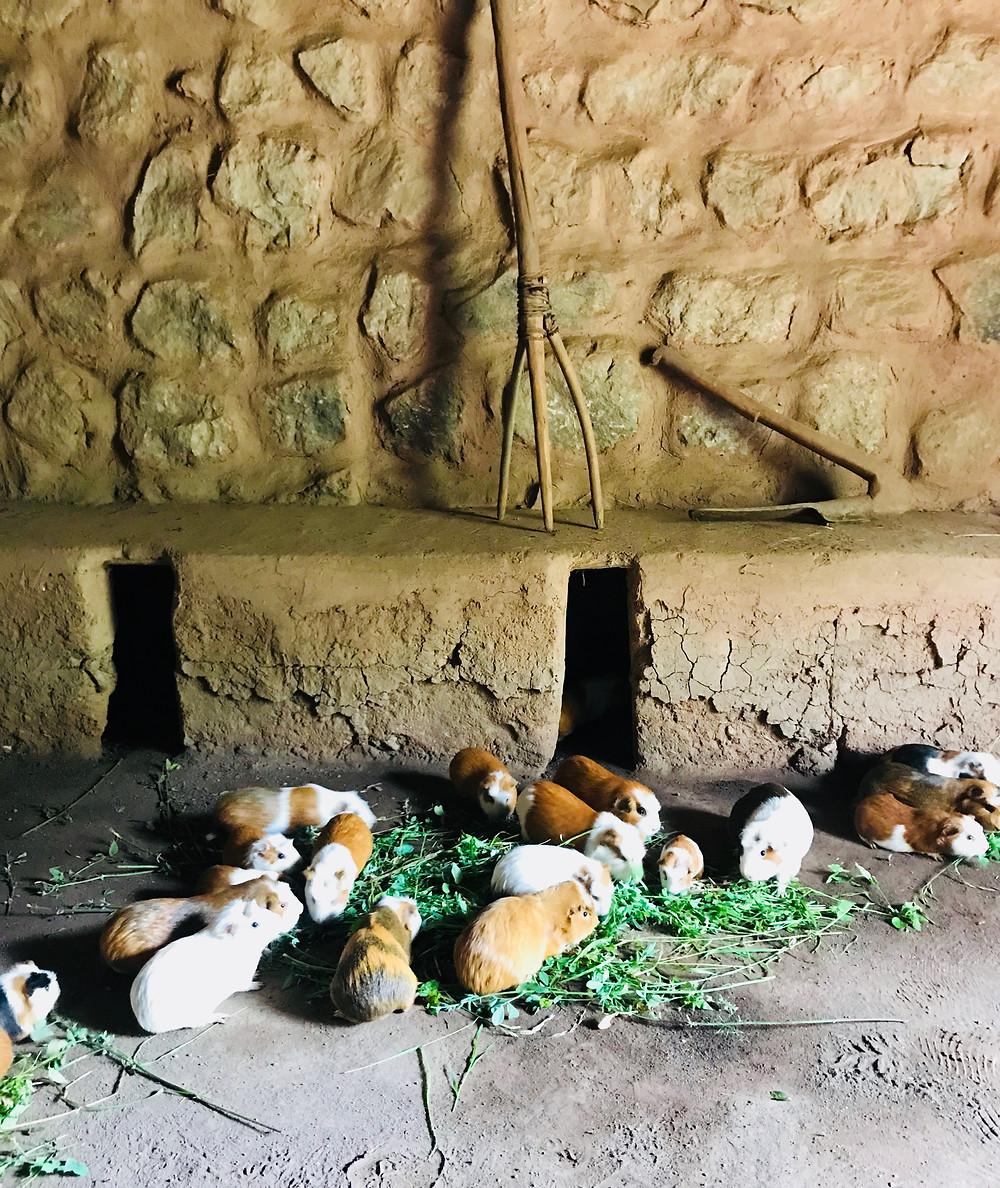 Guinea pigs farmed for food