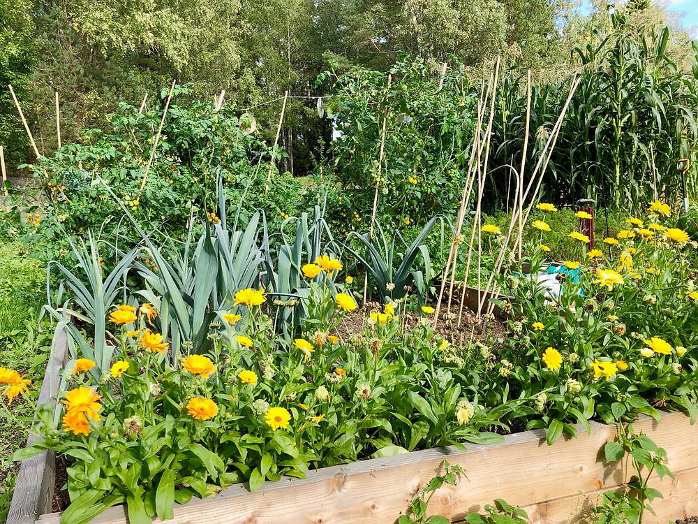 Marigolds, leeks and tomatoes