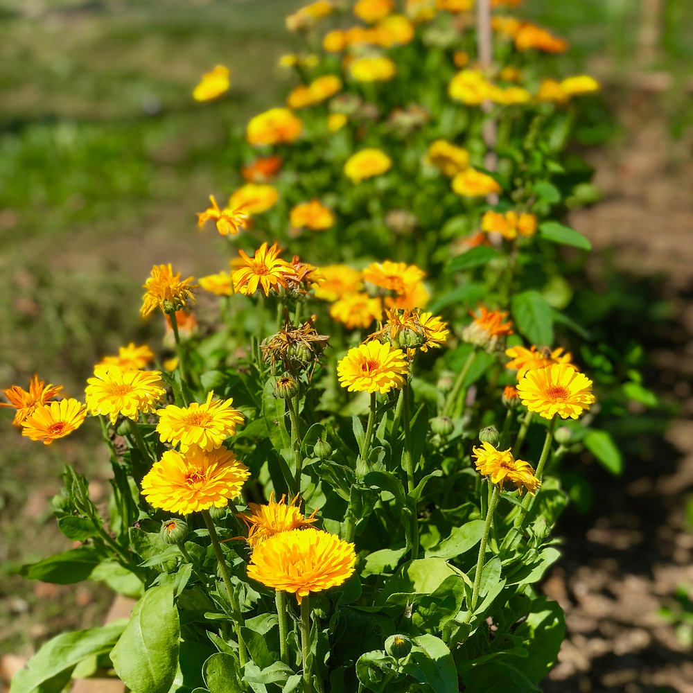 Marigolds as companion plants