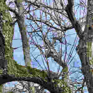 Watershoots from last years pruning