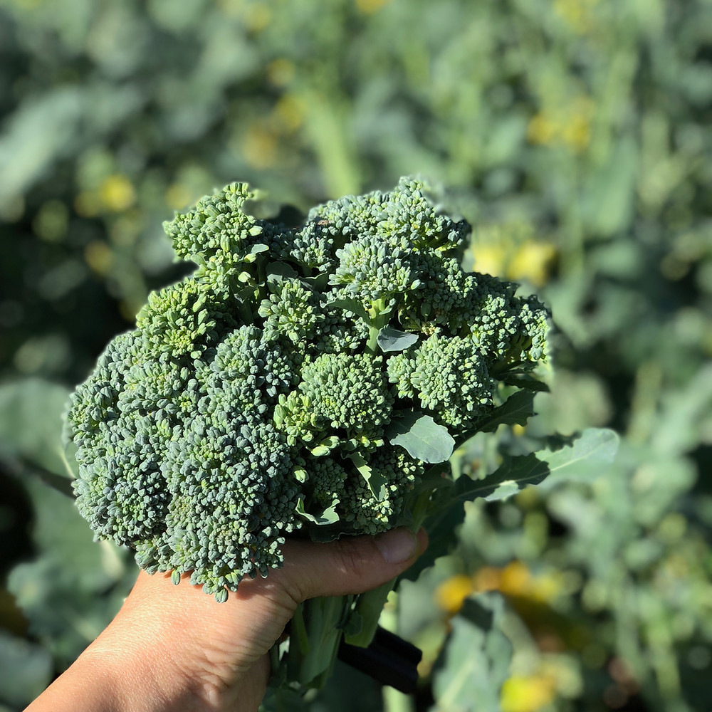 Perfect broccoli for the picking!