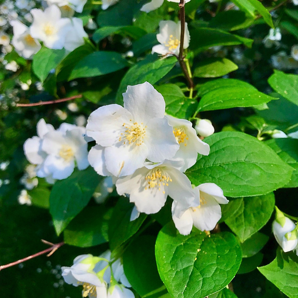 Mock orange, Philadelphus coronaries