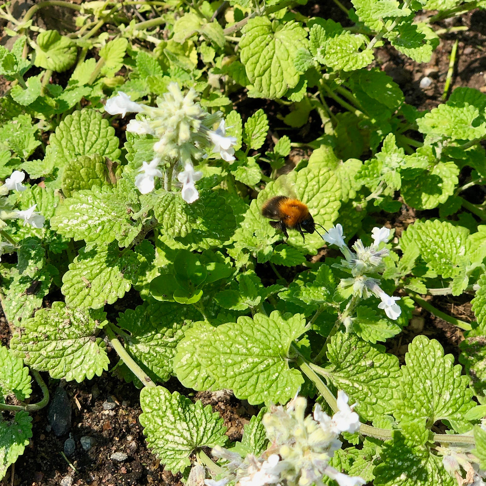 Bumblebee on white catnip