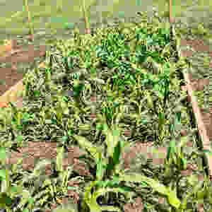 Sweetcorn Gem Glass Corn