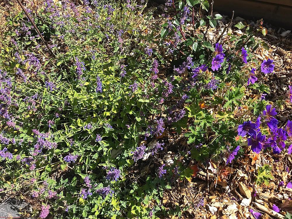 Catnip and geraniums, my favourite blue!