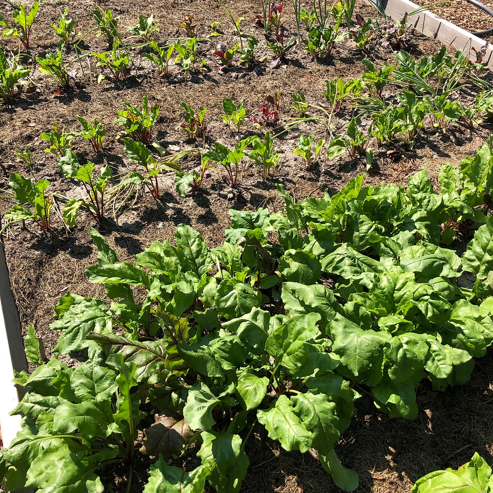 Beetroot planted in beginning of June and July
