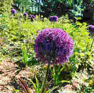 Alliums galore
