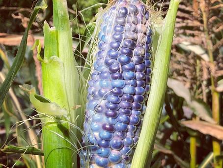 Hopi blue sweetcorn