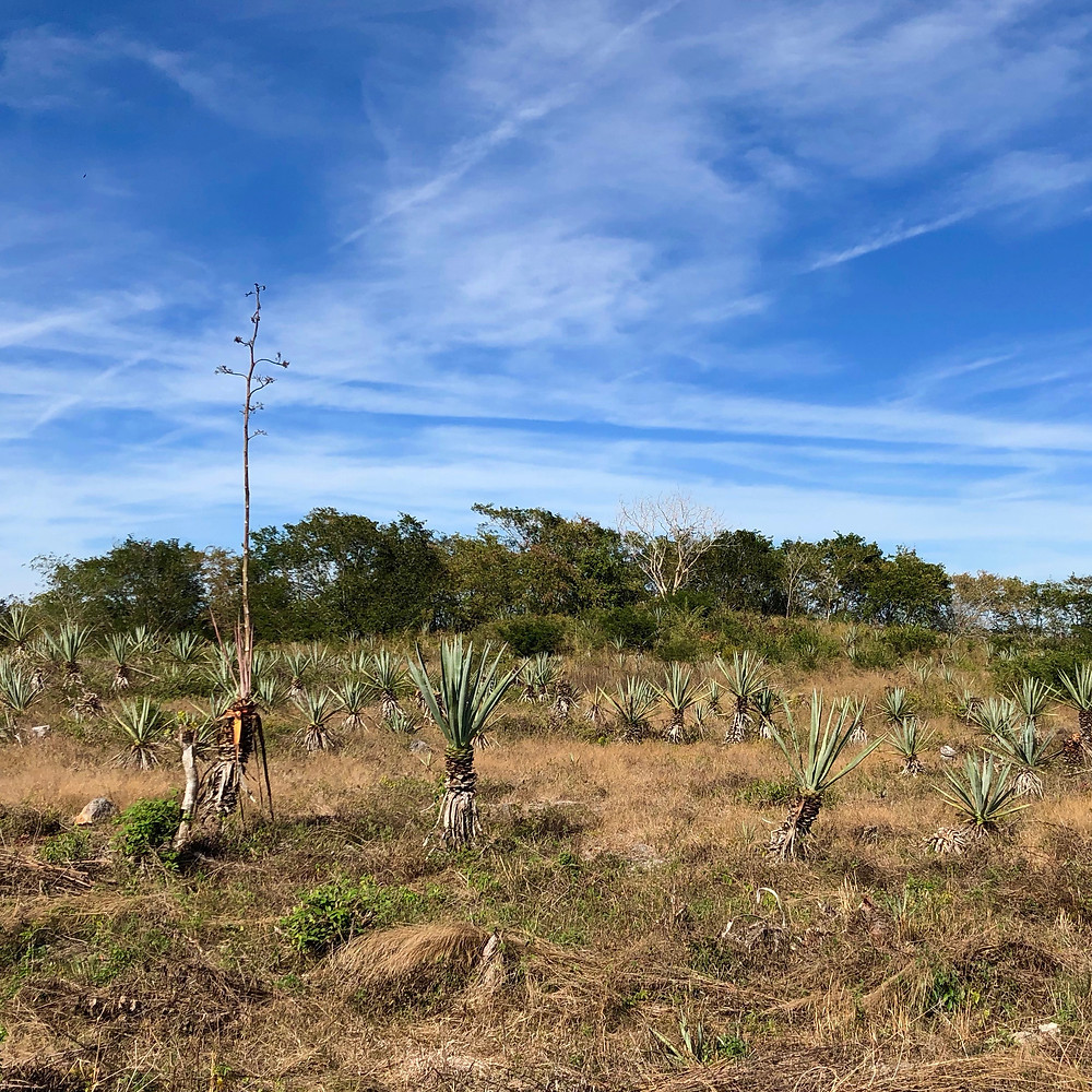 A field of sisal plants