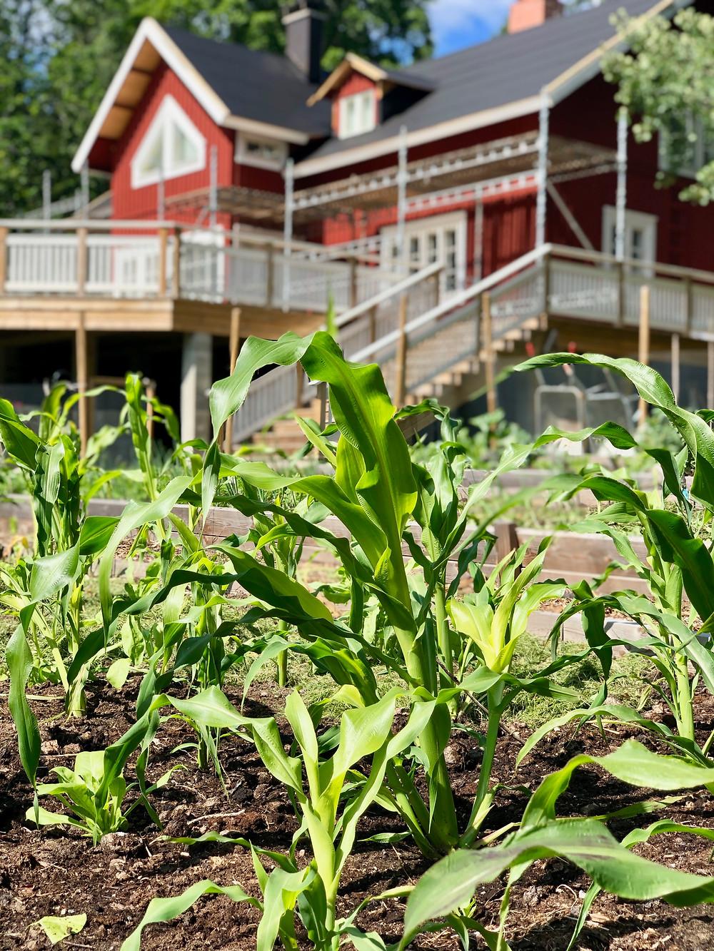 Hopi blue sweet corn