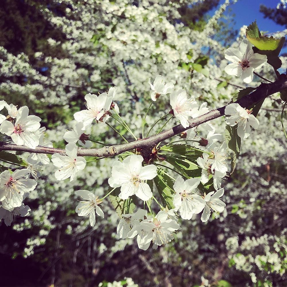 Flowering Cherry at Stensund