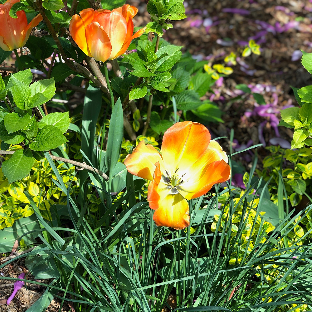 Tulips in Jardin Catherine-Labourne