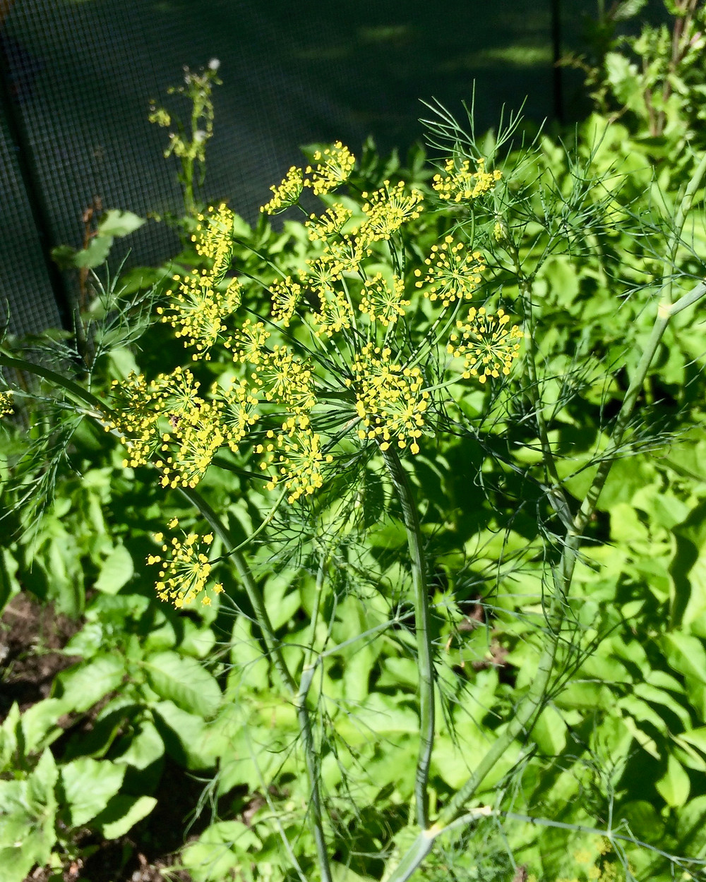 Dill flowers and potatoes growing in the vegetable garden