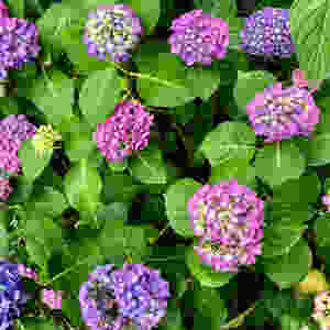 Hydrangeas blooms en masse in June