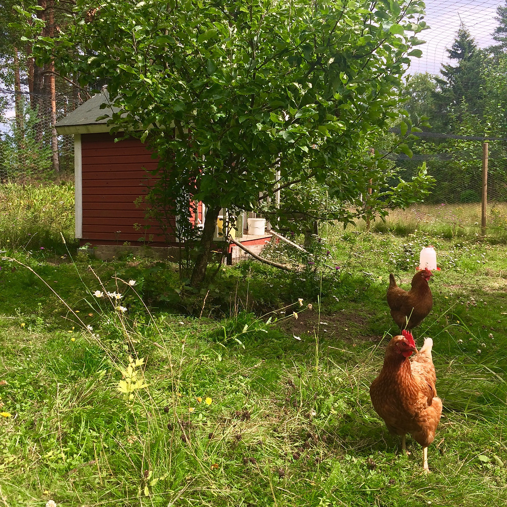 Free range summer chicks