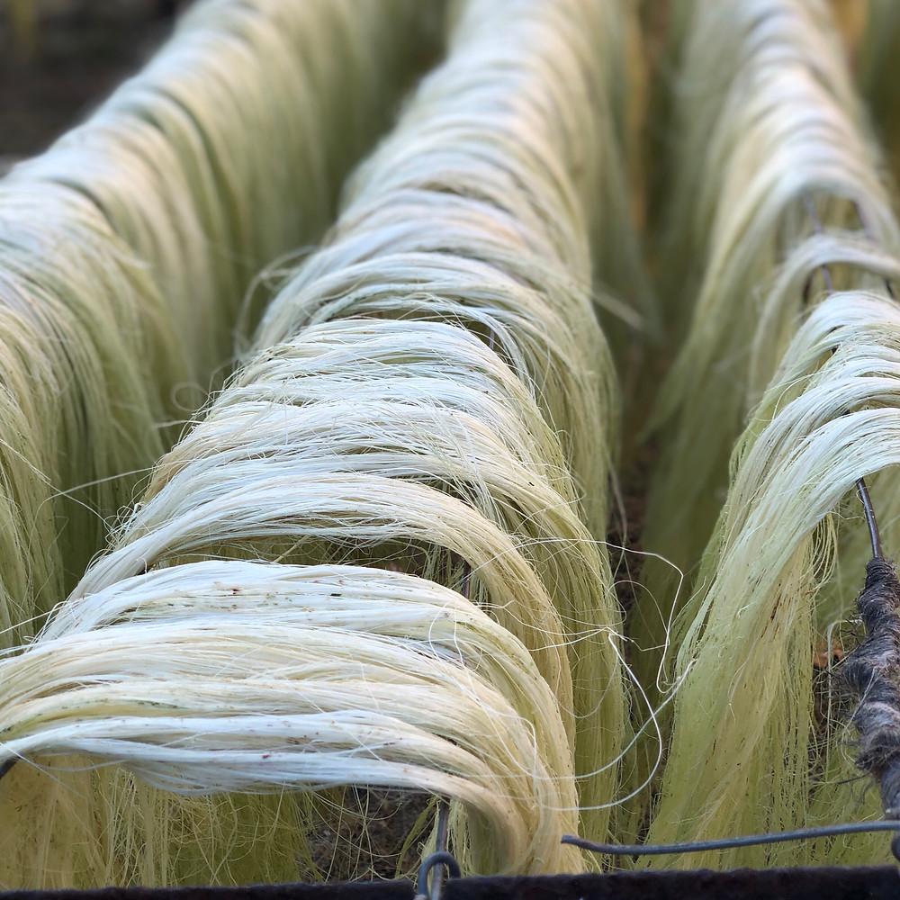 Sisal fiber drying