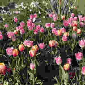Tulips in the Palais Royal Gardens