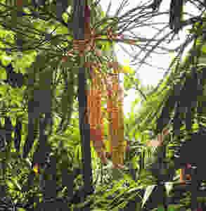 Flowering palm tree