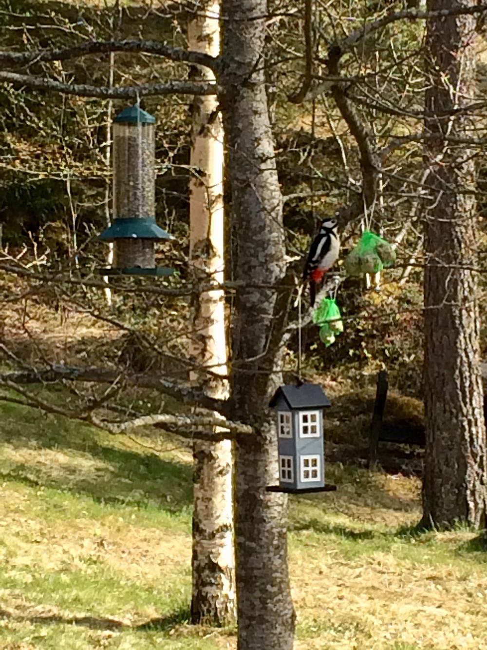 A woodpecker visiting the feeding station