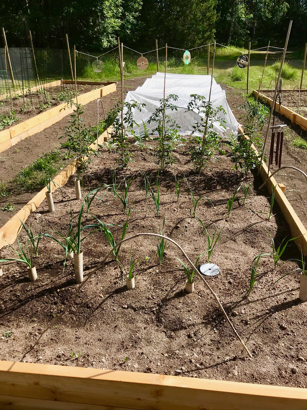 Leeks, tomatoes and kale & broccoli under cover