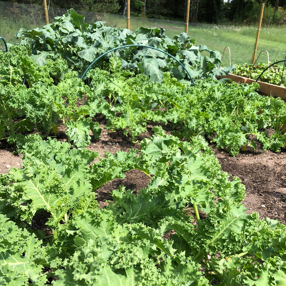 "Green kale and Broccoli ""Calabrais"""
