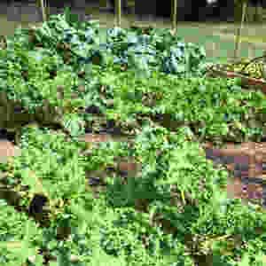 """Green kale and Broccoli """"Calabrais"""""""
