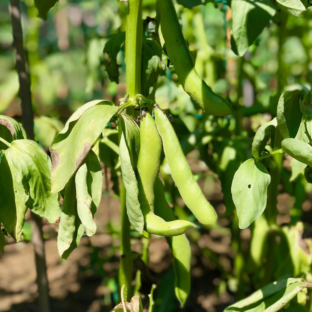 Broad bean Solberga