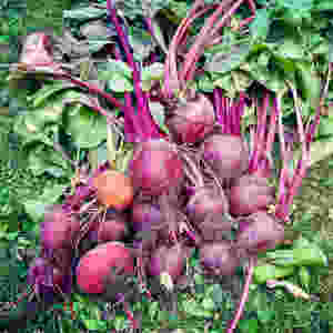 Beetroots fresh from the garden
