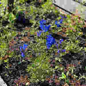 """Delphinium grandiflora """"Blue butterfly"""""""