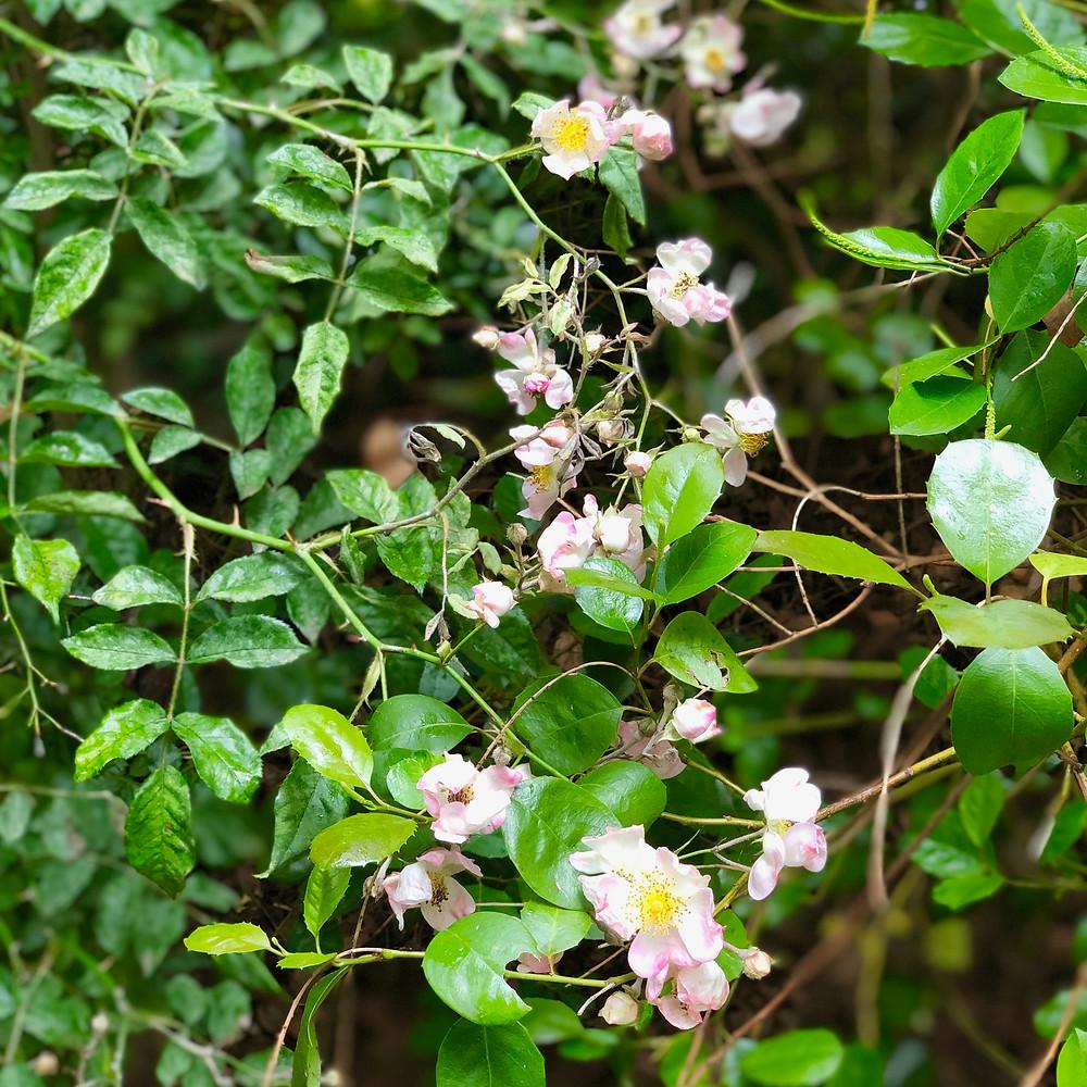Small climbing rose