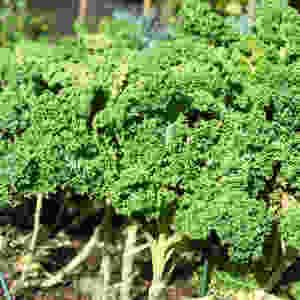 Crazy kale