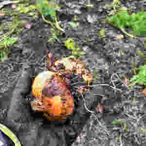 Onions in muddy hands