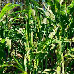 Gem Glass Corn