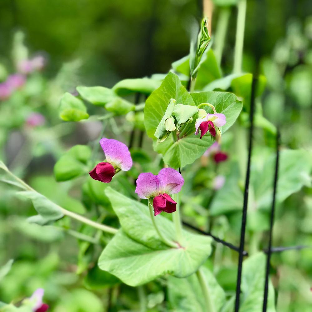Peas in flower