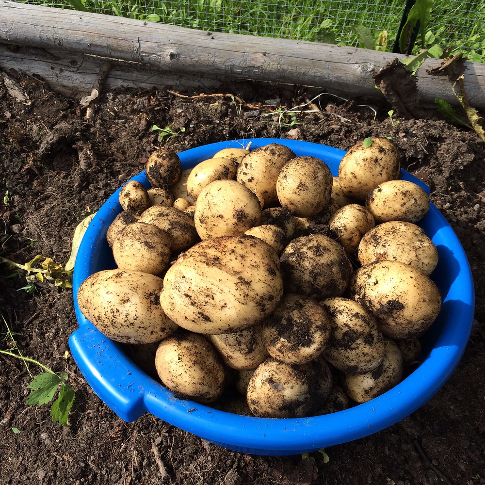 Happy potatoes from my garden
