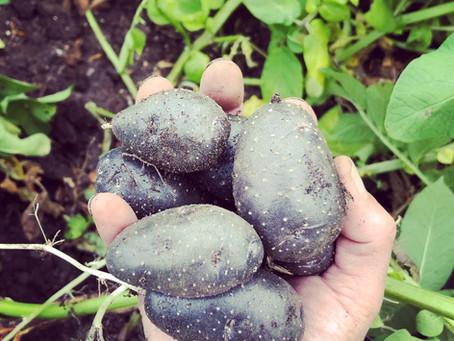 Potato Violet Queen