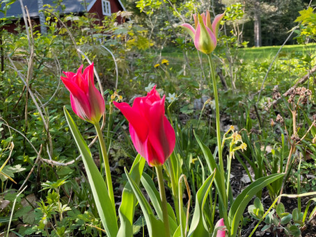 Tulips and sunshine