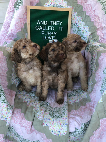 Red Sable F1bb Labradoodles