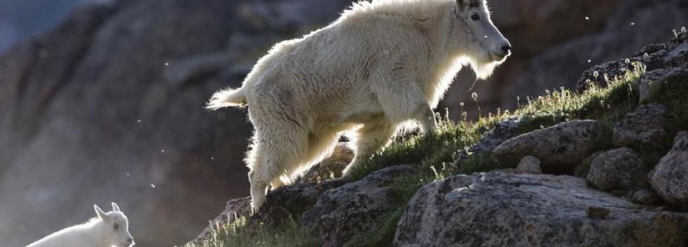 Mount Evans Mountain Goats.jpg