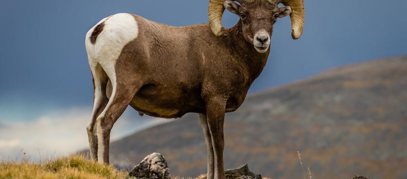 Big Horn Sheep Colorado.jpeg