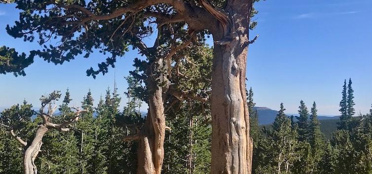 Bristlecone Pine Mount Evans.jpg