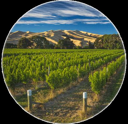 Hello-Sailor-Bountiful-Harvest-vineyard-