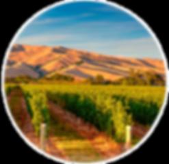 Hello-Sailor-Bountiful-Harvest-vineyard.
