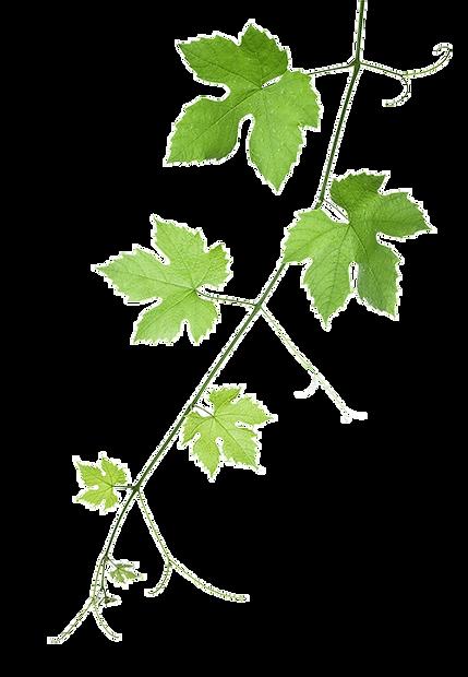 Background image of a grape vine