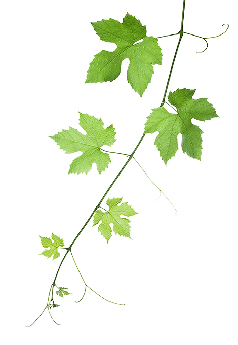 Background image of a grape vine