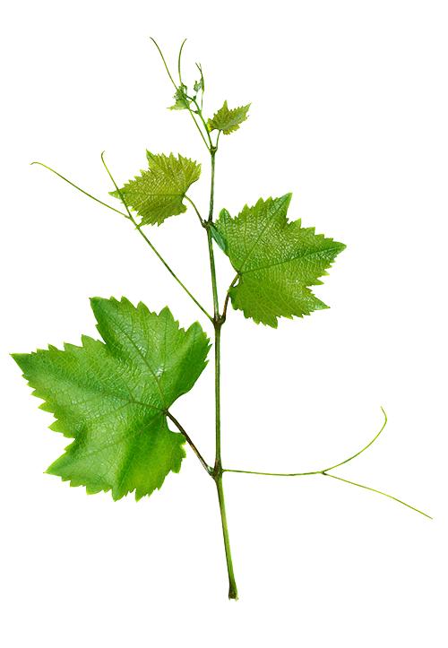 Vine-Image-500x.png
