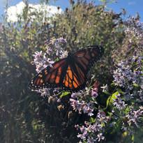 asclépiade et papillon_bd.jpg
